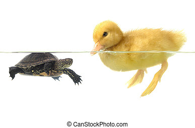 duck and turtle - duck and turtle on white background