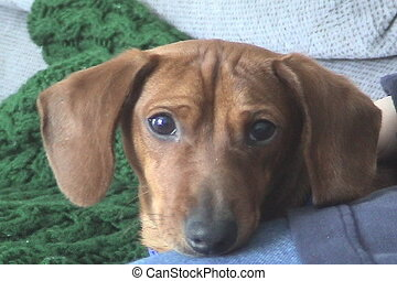 Petting a miniature Dachshund - A closeup of a miniature...