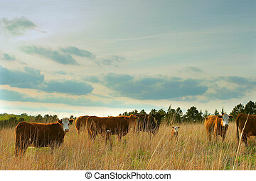 beef cattle in tall grass pasture - herd of beef cattle in...