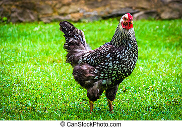 Chicken at the Mountain Farm Museum in the Oconaluftee...