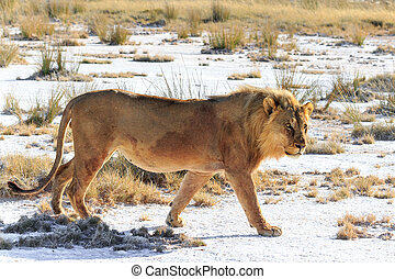 Male lion walking saltpan - A male lion walking on a saltpan...