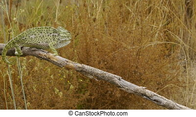 male chameleon mating colors walking on the dry branch