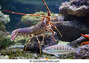 Lobster and fish in aquarium - A striated fish swimming in...