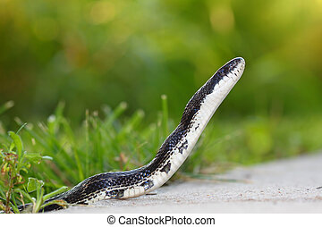 Rat Snake Elaphe obsoleta - Rat Snake on a walking path at...