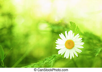 Spring daisy - Stock Image - Spring daisy -charm of summer