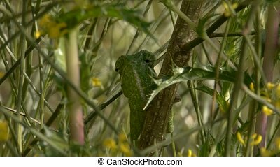 small camouflaged chameleon - Small chameleon camouflaged in...