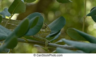 chameleon camouflaged among the branches of carob