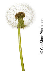 Fluffy dandelion - The fluffy dandelion, isolated on white...