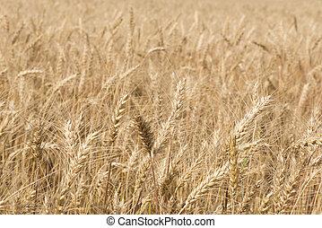 ripening rye ears on the field