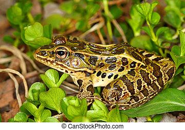 Northern Leopard Frog (Rana pipiens)