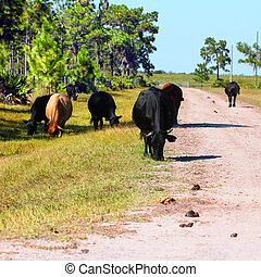 Cows Grazing in Florida - Cows graze on grass at a military...