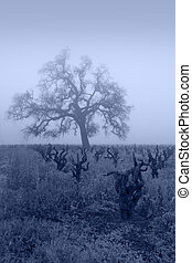 Blue Lodi Grapevines in Fog - Bare Winter grape vines and...