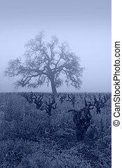Blue Lodi Grapevines in Fog - Bare Winter grape vines and...