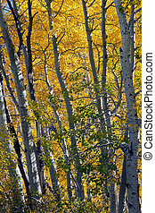 Aspen Trees in Autumn - Aspen tree grove in full Autumn...