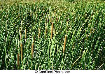 green asian tropical wetland water plants. (Typha...