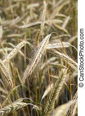 Grain field. - Grain field in late summer.