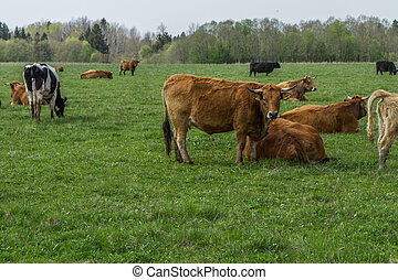Cattle pasture in the village - Cattle pasture Lithuanian...