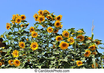 Sunflowers (Helianthus annuus) against blue sky