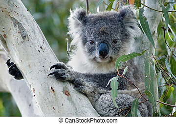 Koala in Australia - Koala in eucalyptus tree on Kangaroo...