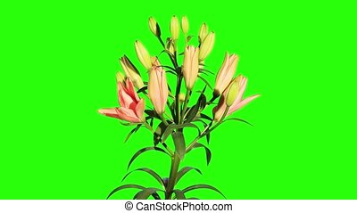 Blooming orange lily flower buds green screen, FULL HD...