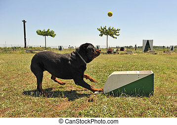 flyball - a rottweiler playing with a box of flyball