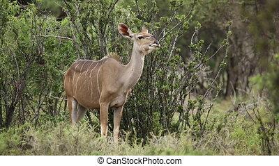 Kudu antelope ruminating - A female kudu antelope...