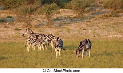 Plains Zebra interaction - Plains (Burchells) Zebras (Equus...