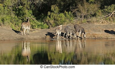Plains Zebras at waterhole - Plains (Burchells) zebras...