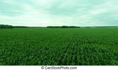 Camera moves over the corn field at a height of 70 meters.