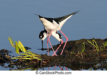 Black-necked Stilts (Himantopus mexicanus) - Pair of...