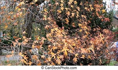 Autumn Foliage - Autumn leaves blowing in the wind