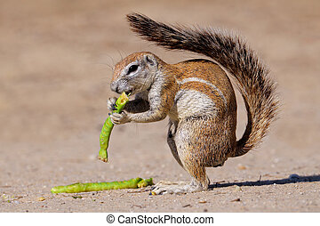 Ground squirrel - Feeding ground squirrel Xerus inaurus,...
