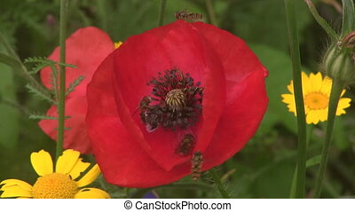 Hover Flies feeding on poppies. - Close up of Hover Flies...