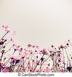 Cosmos flowers fields - Pink Cosmos flowers fields plant