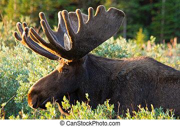 Large Bull Moose in Summer Velvet - Profile of large bull...