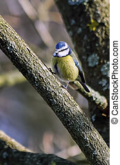 Blue Tit perching on a branch