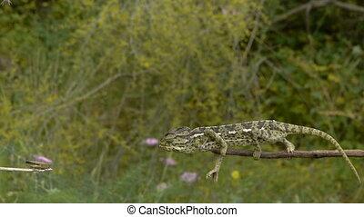 common chameleon hunting