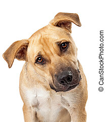 Cute Boxer Mix Dog Closeup - A cute boxer mix dog sits and...