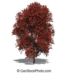 Acer rubrum autumn - 3D computer rendered illustration Acer...