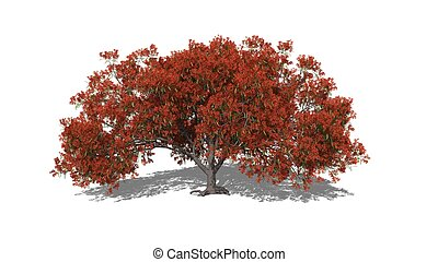 Delonix regia autumn - 3D computer rendered illustration...