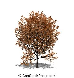 Quercus rubra autumn - 3D computer rendered illustration...