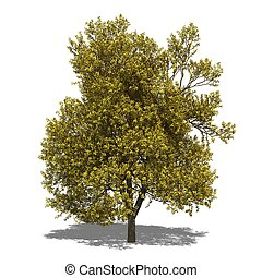 Quercus robur autumn - 3D computer rendered illustration...