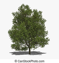 Quercus robur summer - 3D computer rendered illustration...