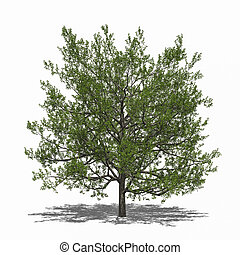 Quercus rubra summer - 3D computer rendered illustration...