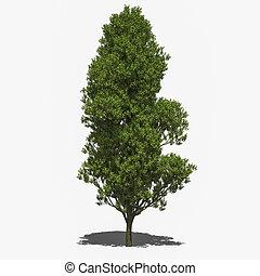 Quercus robur 'Fastigiata' (summer) - 3D computer rendered...