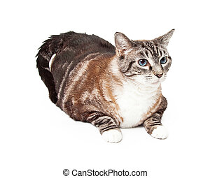 Large Tri-Colored Tabby Cat Laying - A Large Tri-Colored...