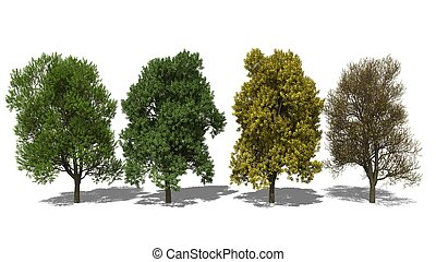 Quercus robur Four Seasons - 3D computer rendered...