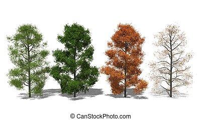 Amerikanischer Amberbaum (Liquidambar styraciflua) Four...