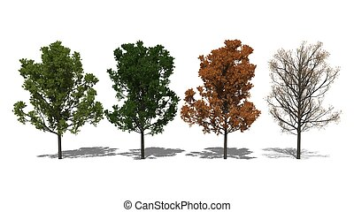 Quercus rubra Four Seasons - 3D computer rendered...