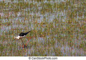 Black-winged stilt - View of the black-winged stilt in the...